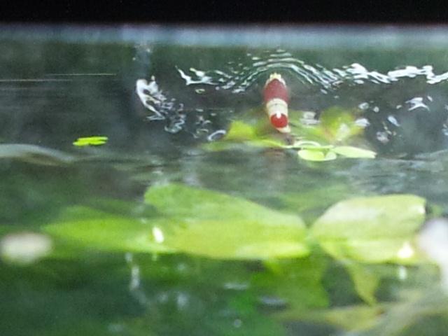 鯉の滝登り、ならぬ…